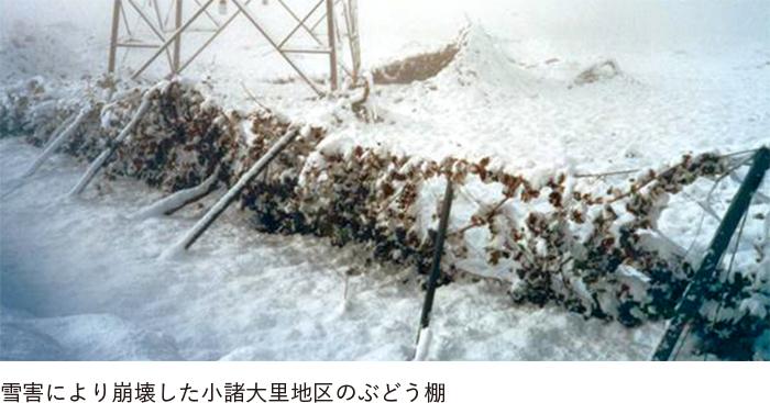 雪害により崩壊した小諸大里地区のぶどう棚