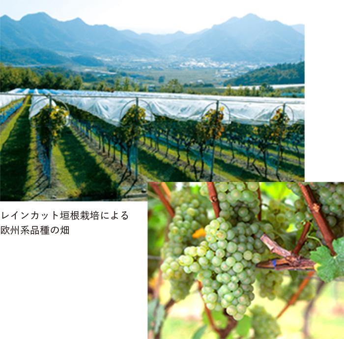 レインカット垣根栽培による欧州系品種の畑