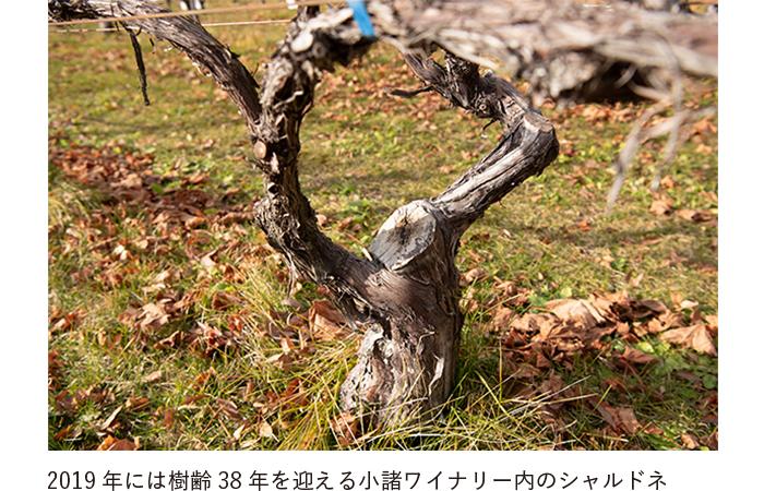 2019年には樹齢38年を迎える小諸ワイナリー内のシャルドネ