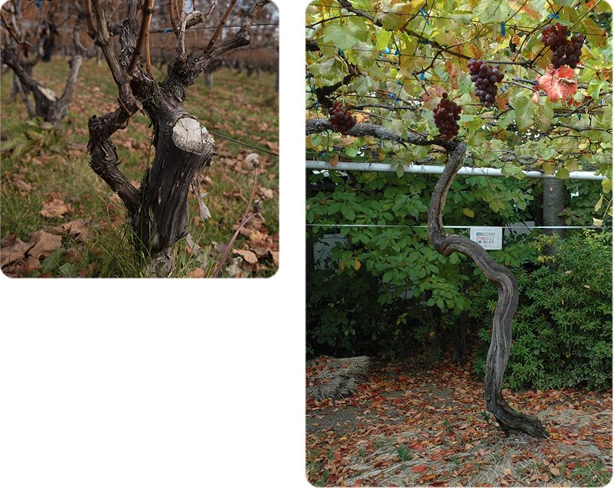 樹齢35年を超えるシャルドネと樹齢100余年の善光寺ぶどう