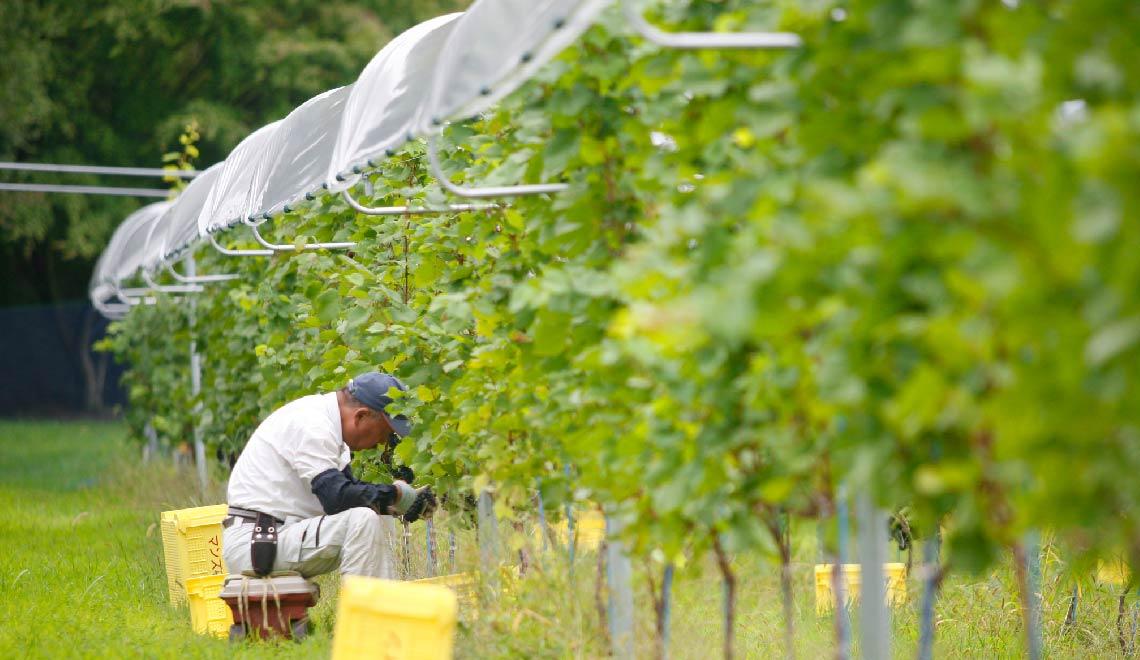 写真:マンズ・レインカット栽培法の葡萄畑